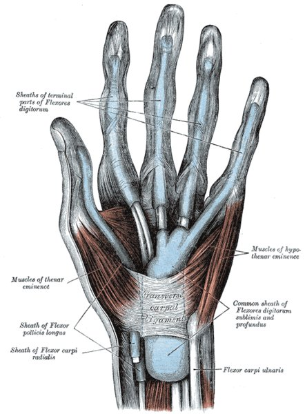 Top View of Hand with Tendons Exposed